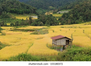 Golden rice field in countryside of Thailand