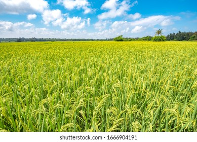 Golden Rice Field in The Countryside of Wenchang City, Hainan Province, China.