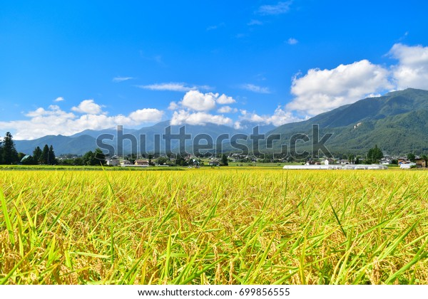 Golden rice field with the Northern Alps on the background (Nagano Prefecture, Japan)