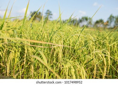Golden rice in the fields.