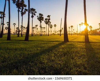 Golden rice plantation field morning sunrise with silhouette sugar palm tree rural village of Thailand aerial view