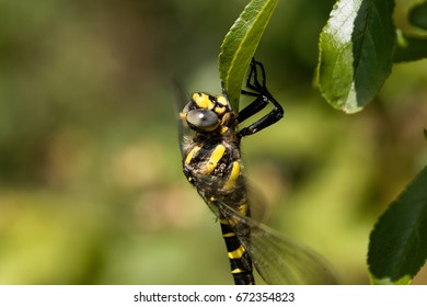 A golden ringed dragonfly (Cordulegaster boltonii), one of the largest species of European dragonflies.