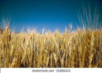 Golden ripe barley against blue sky background