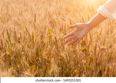 Golden ripe cereal, young woman walking