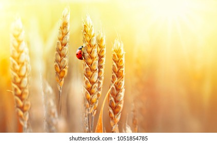 Golden ripe ears of wheat and ladybug on nature in summer field at sunset rays of sunshine, close-up macro with free space. Summer background, template, wallpaper, copy space.
