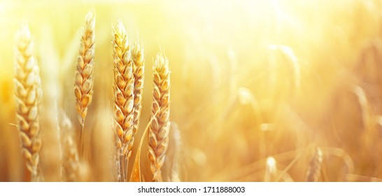 Golden ripe ears of wheat on nature in summer field at sunset rays of sunshine, close-up macro. Ultra wide format. - Shutterstock ID 1711888003