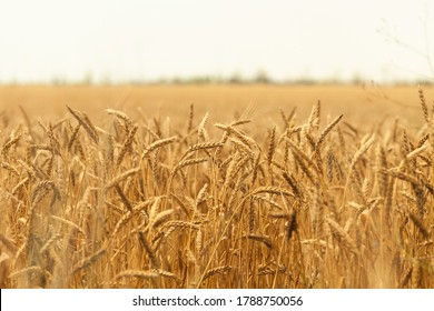 Golden ripe ears of wheat ready for harvest. Wheat field. Summer harvest of ripe wheat. Agriculture. Cornfield in countryside - Shutterstock ID 1788750056