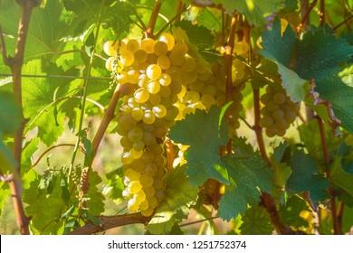 golden ripe grapes of Rkatsiteli in a vineyard before harvest, Kakheti, Georgia.