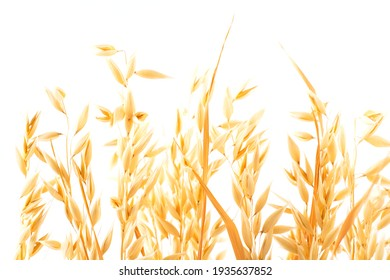 Golden ripe plant ears of oats on a white background, isolated from the background. Selective focus