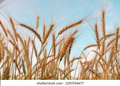 Golden ripe wheat field, sunny day, agricultural landscape, growing plant, cultivate crop, harvest season concept