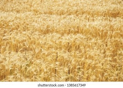 Golden rye grains on ripe rye field  background. Rye field ready for harvesting