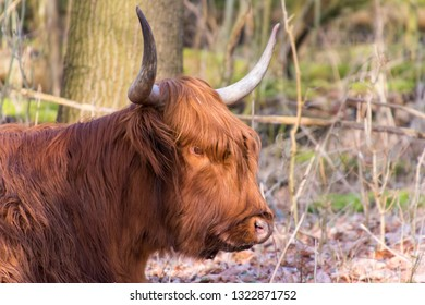 Golden Scottish Highand cow close up in Amsterdam forest. Large curled horns en curly orange hair. The Netherlands, Europe.