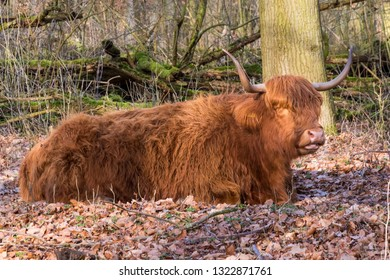 Golden Scottish Highland cow on forest soil. Head three-quarters from the side. evening sun, big horns, trees and leaves. Amsterdam, The Netherlands, Europe.