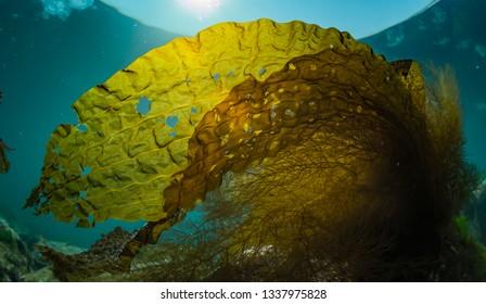 Golden Seaweed in Shireetoko