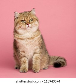 Golden shaded British shorthair, 7 months old, sitting against pink background