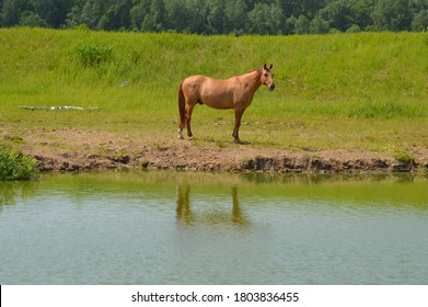 A golden sheen stallion with a dark brown mane stands on the shore of a pond with a reflection in the water.