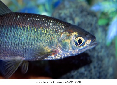 Golden Shiner (Notemigonus crysoleucas) fish found in northern Illinois