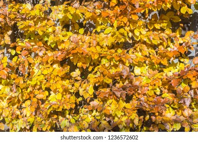 golden shining beech leaves are illuminated by the sun