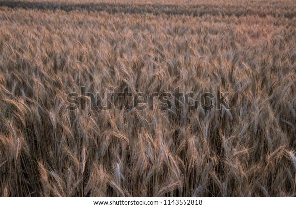 Golden shining corn field in the sunset