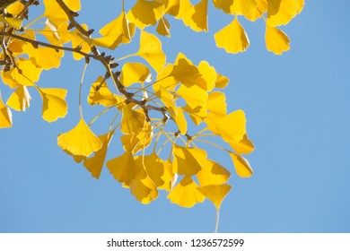 golden shining ginkgo leaves are illuminated by the sun