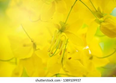 Golden Shower background image select focus , Cassia fistula flower,Ratchaphruek flower Kingdom of Thailand