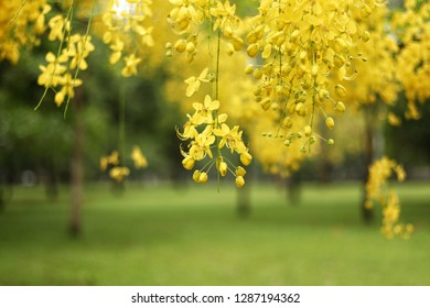 golden shower, Cassia fistula for background