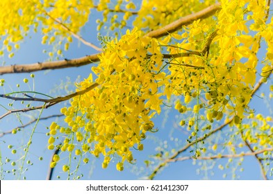 Golden shower (Cassia fistula) national flower of Thailand