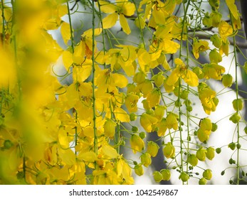 Golden shower flowers or Ratchaphruek is national flower of Thailand. Cassia fistula flower.