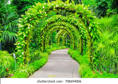 Golden Shower or Oncidesa goldiana Archway in Singapore national orchid garden.
