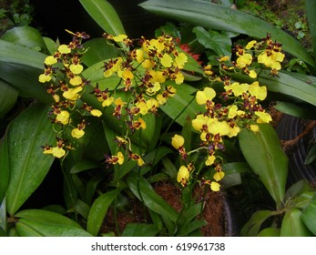 Golden shower orchids at the National Orchid Garden, Singapore