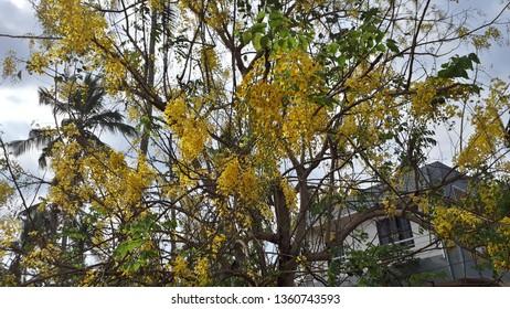 golden shower or purging cassia or Indian laburnum