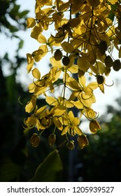 Golden Shower Tree or Cassia fistula in thailand