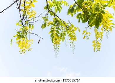 Golden shower tree, Cassia fistula flower (Cassia fistula).