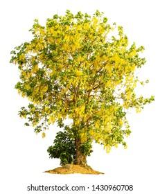Golden shower tree (Cassia fistula) isolated on white background