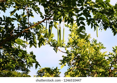 Golden shower Tree with fruits