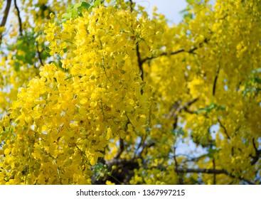Golden shower tree at full bloom. Purging cassia. Indian laburnum. Cassia fistula. Yellow flowers. Beautiful nature.