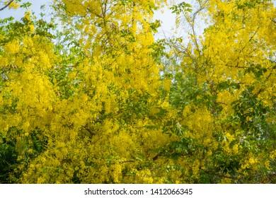 Golden shower tree at full bloom. Purging cassia. Indian laburnum. Cassia fistula. Yellow flowers.Pudding Pine Golden shower Indian Laburnum Cassia fistula Yellow flowers are a large bunch.