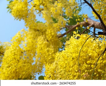 Golden shower tree, National Tree of Thailand, Cassia fistula, Family Fabaceae