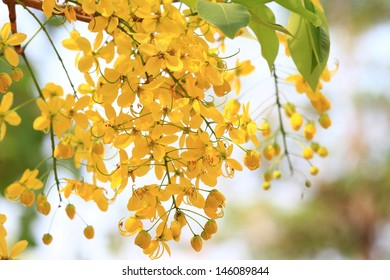 Golden Shower Tree (Purging Cassia, Cassia fislula Linn) Blooming in Chiangmai , Thailand