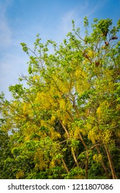 Golden Shower Tree / Yellow flower beautiful hang on branch tree of Golden Shower and blue sky background  - Cassia fistula plant