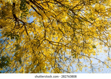 Golden shower,  yellow flowers blossom in summer time on sky background.