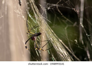 Golden silk orb weaver spider (Trichonephila clavipes) formerly known as (Nephila clavipes) on tropical forest in Brazil