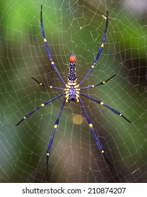Golden SIlk Orb Weaving Spider waiting on her web.