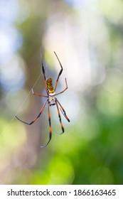 Golden silk orb-weaver, Giant spider on web. Nosy Mangabe island, Toamasina province, Madagascar wildlife and wilderness