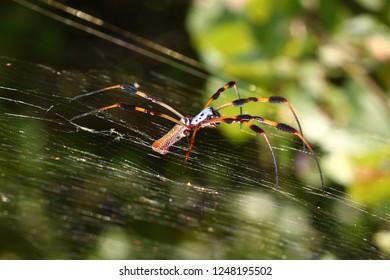Golden Silk Orb-weaver Spider (Nephila clavipes) in central Florida