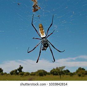 The golden silk orb-weavers spider