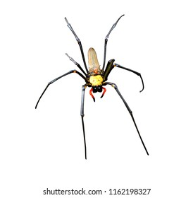 Golden silk orb-weavers spider male isolated on white background. Copy space