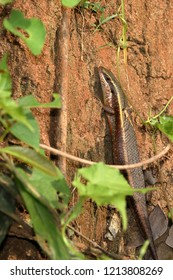 Golden Skink in Sri Lanka