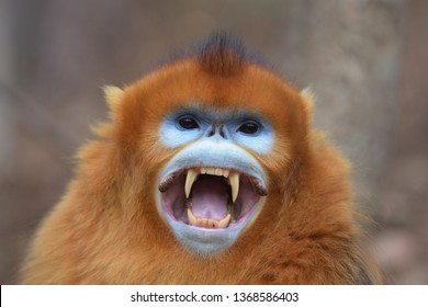 Golden Snub-nosed Monkey (Rhinopithecus roxellana) Adult male showing its fangs in a threat at Foping Nature Reserve, Shaanxi Province, China.