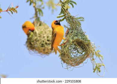 Golden Southern Masked Weaver - African Wild Bird Background - Nest builders, Home makers